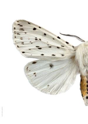 Prickig tigerspinnare A4 halv vänster webb