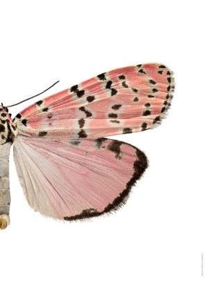 Utethesia bella A4 halv höger webb