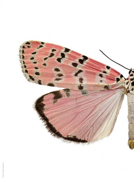 Utethesia bella A4 halv vänster webb