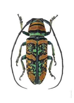 Anatragus pulchellus A4 utan