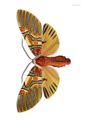 Anaxita sannionis A4 utan liggande