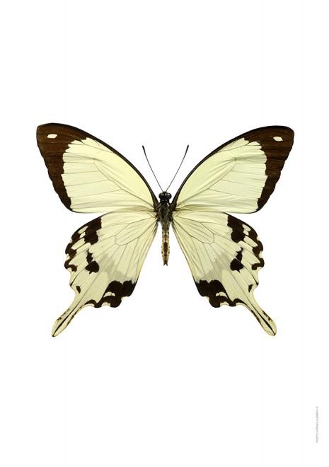 Papilio dardanus A4 utan