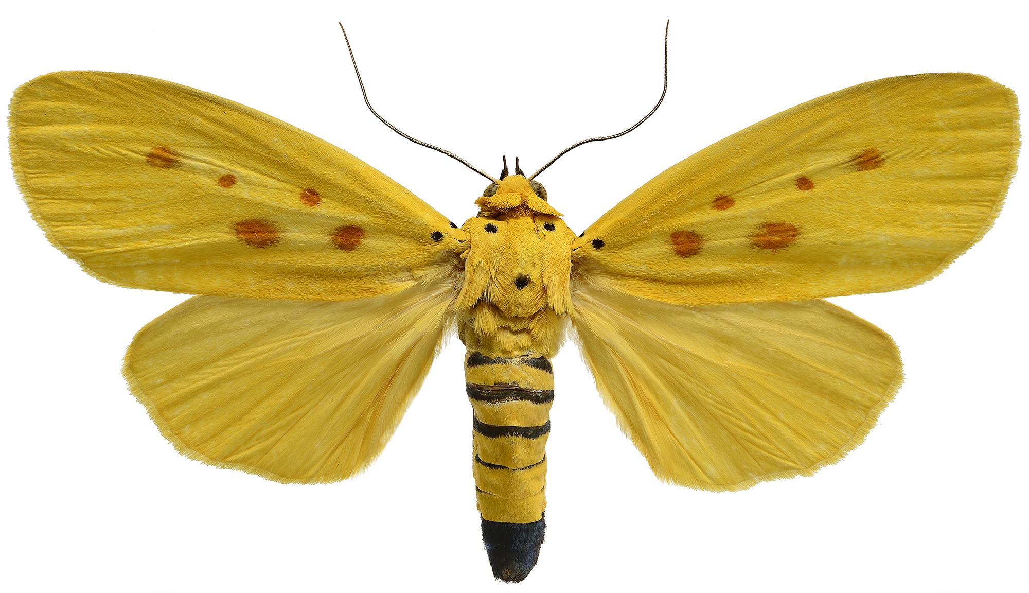 Agape chlorophylla 2000