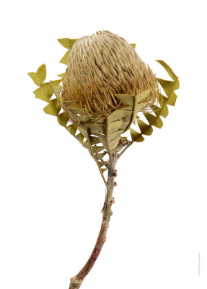 Banksia baxteri A4 utan