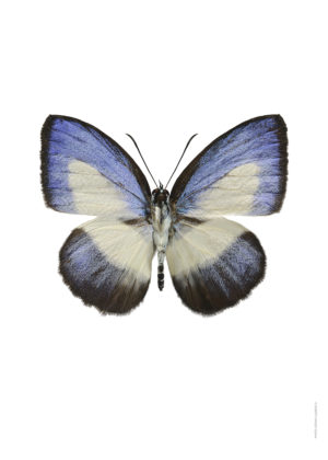 Thysonotis apollonius A4 utan