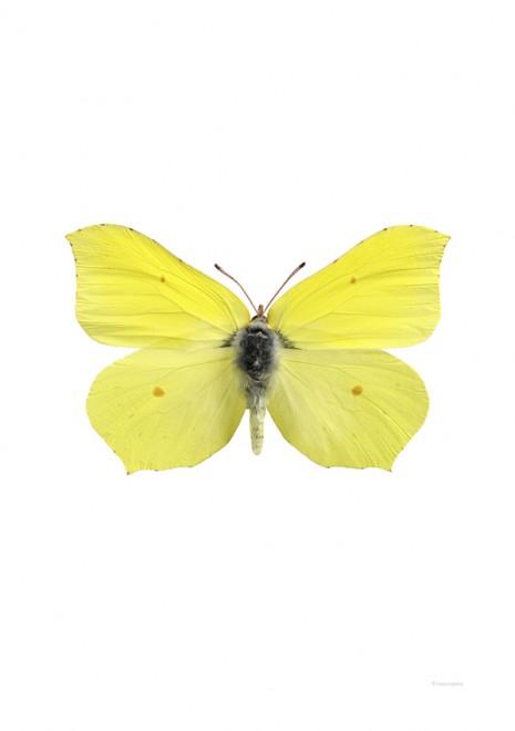 Citronfjäril – Gonopteryx rahmni