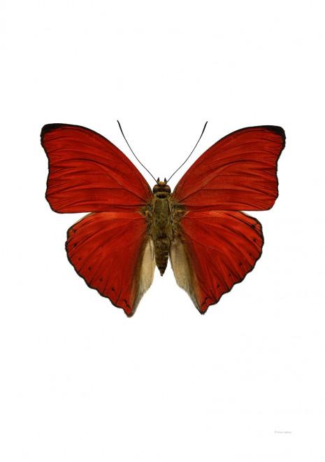 Cymothoe sangaris A