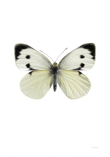 Kålfjäril, hona – Pieris brassicae