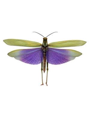 Lophacris cristata B  2
