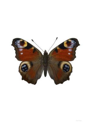 Påfågelöga - Inachis io