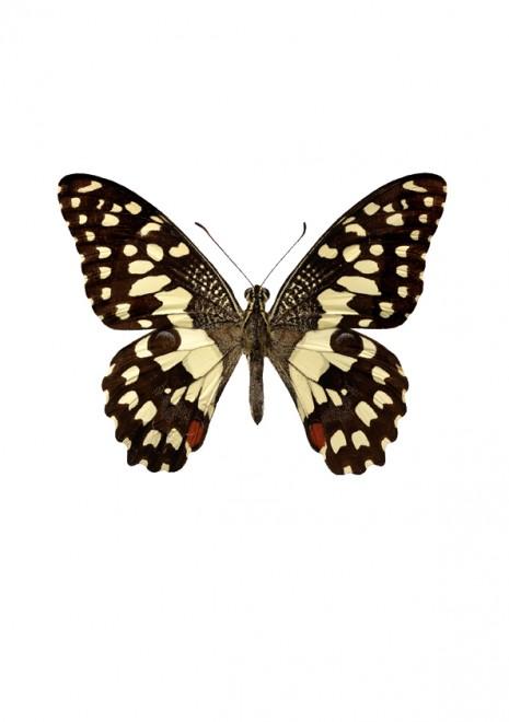 Papilio demoleus  A