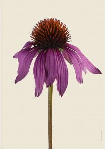 Solhatt Echinacea Purpurea Magnus A4 med 7900