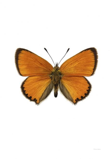 Vitfläckig guldvinge – Lycaena virgaureae