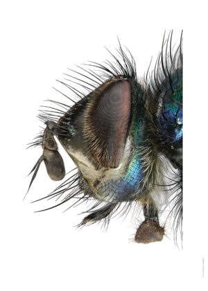 Gymnocheta viridis A