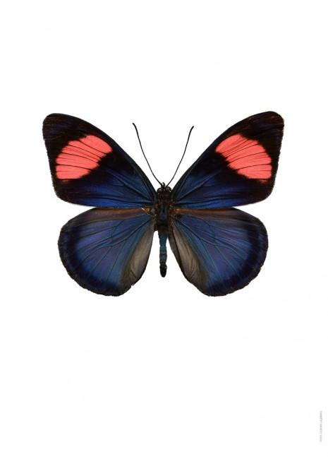 Batesia chrysochlora A