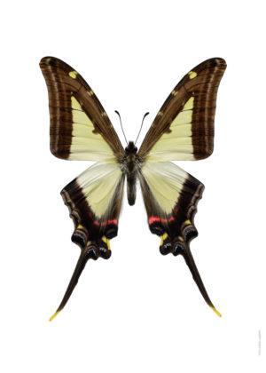 Eurytides leucaspis A