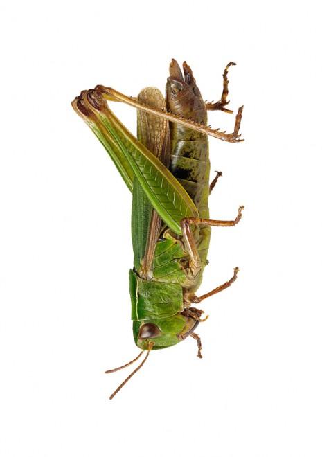 Grön ängsgräshoppa -NY Omocestus viridulus