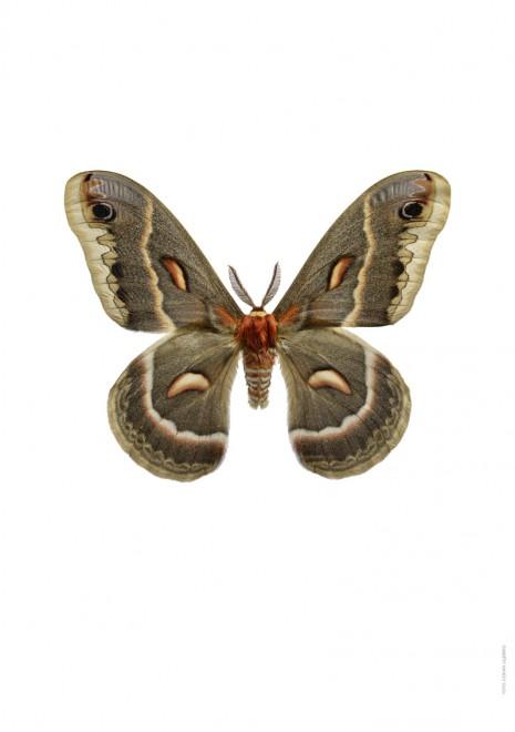 Hyalophora cecropia A