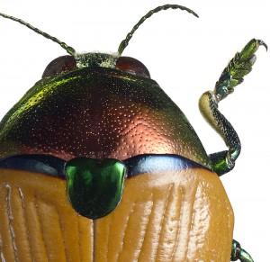 Metaxymorpha apicalis utsnitt