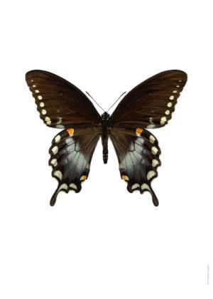 Papilio troilusxxx