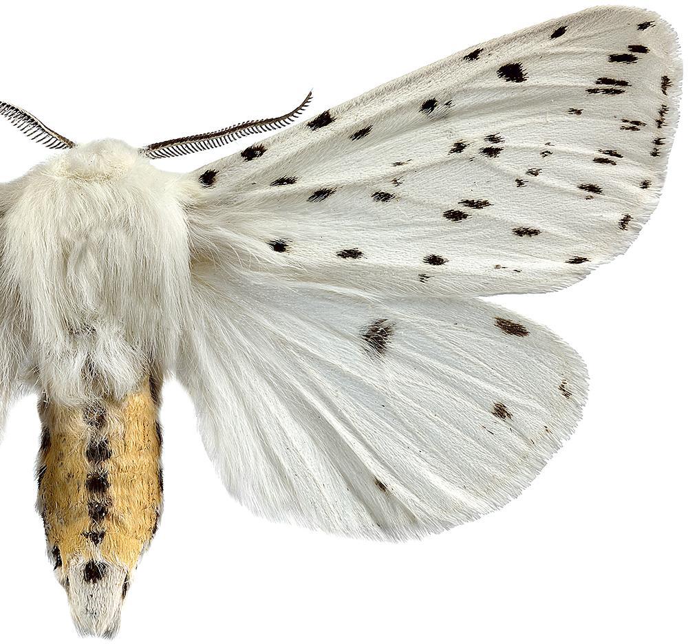 Prickig tigerspinnare closeup