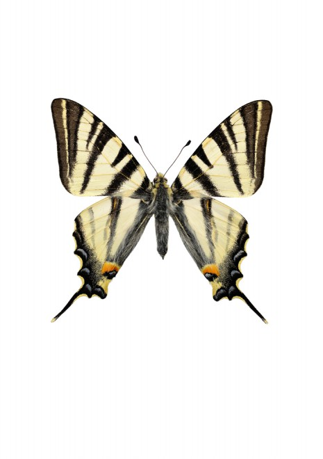 Segelfjäril Iphiclides podalirius