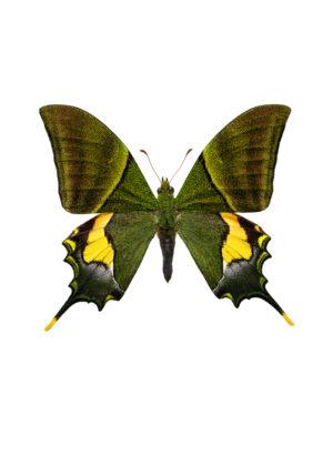 Teniopalpus imperialis