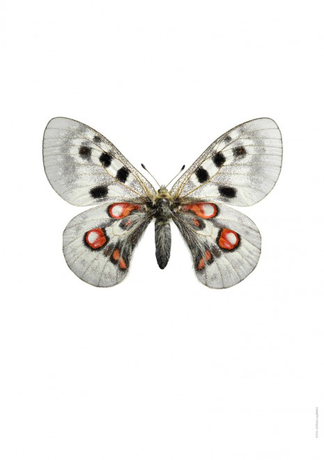 Apollofjaril  Parnassius apollo wiscotti  A4 A
