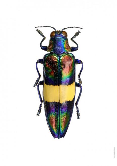 Chrysochroa toulgoeti A4 utan