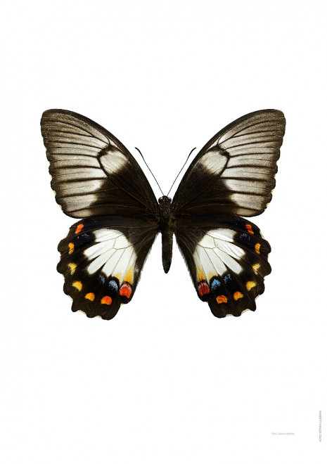 Papilio aegeus A4 utan