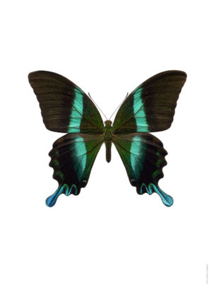 Papilio blumei ny A4 utan