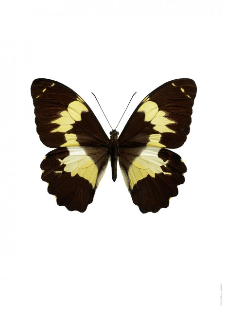Papilio euchenor A4 utan
