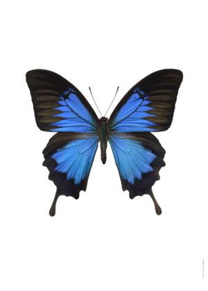 Papilio ulysses ny A4 utan