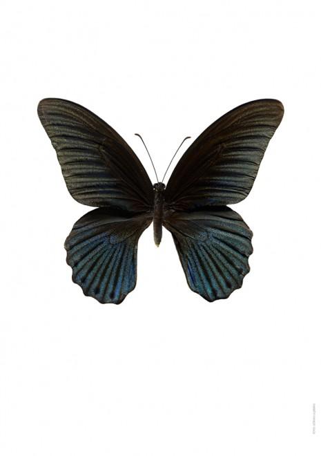 Papilio memnon hane A4 utan