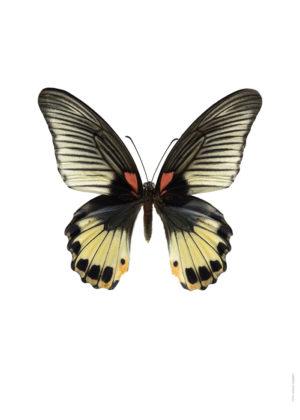 Papilio memnon hona A4 utan