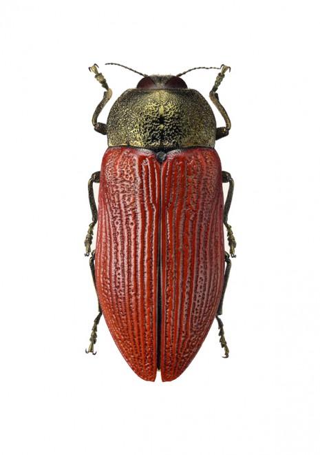 Temognatha caloderma  A