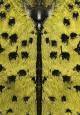 Celosterna pollinosa sulphura utsnitt2