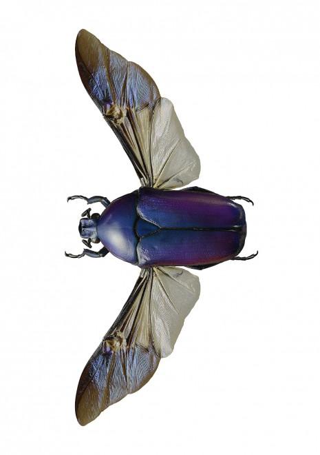 Chlorocala africana oertzeni Wings 4050 utan Liggande webb