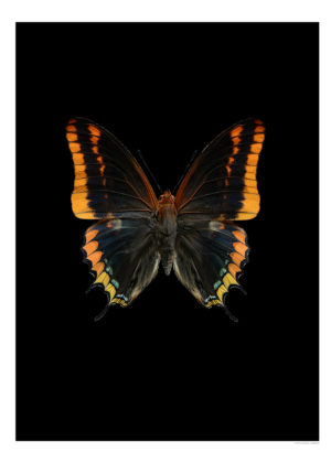 Jasius svart 800px