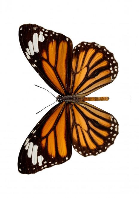 Monark danaus plexippus A2 utan Liggande web
