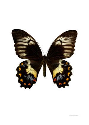 Papilio gambrisius A4 utan 800px