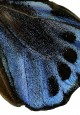 Ornithoptera priamus blue 3040 utan unsnitt