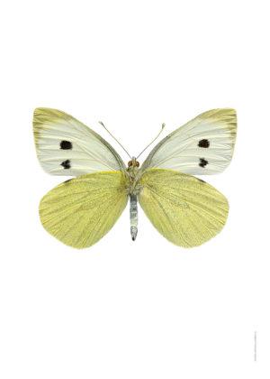 Kålfjäril undersida Pieris brassicae A4 utan webb