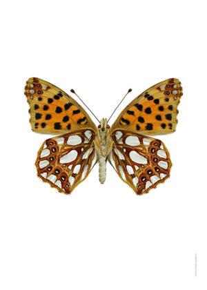 Storfläckig pärlemorfjäril Issoria lathonia A4 utan undersida webb