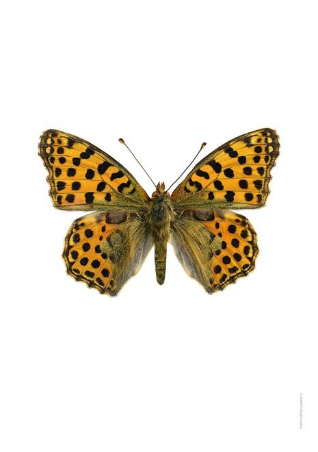 Storfläckig pärlemorfjäril Issoria lathonia A4 utan webb