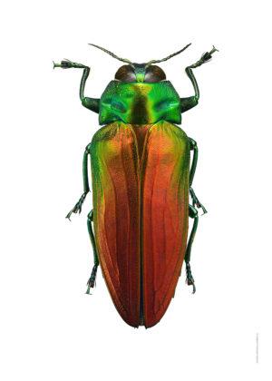 belionota-sumptuosa-a4-utan-webb