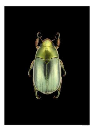 chrysina-strasseni-3040-svart-webb