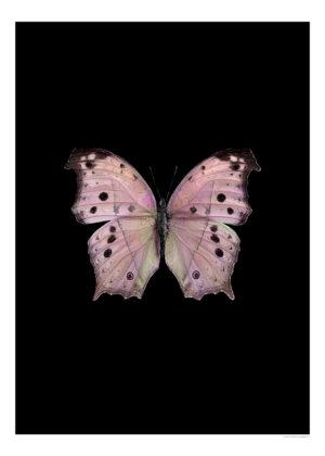 salamis-parhassus-rosa-3040-svart-webb