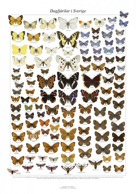 Affisch dagfjärilar 2014 1.000px