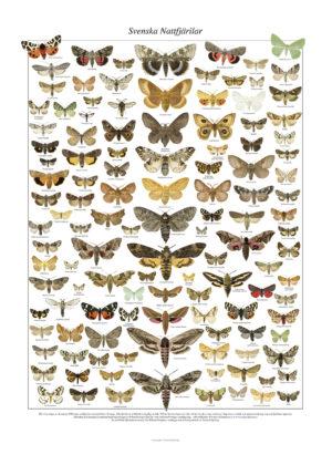 Affisch Svenska Nattfjärilar 1.000 px
